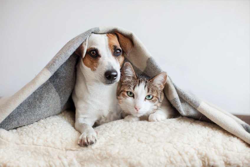 Dog hugs a cat under the rug at home.
